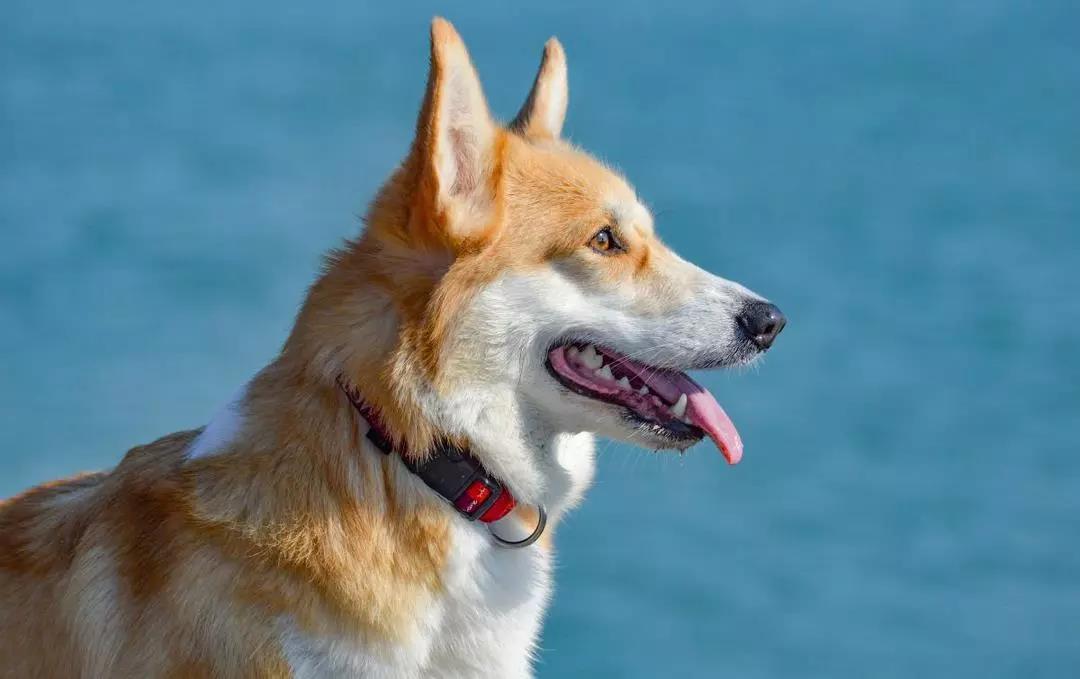 瑞鹏宠物医院带您了解威尔士柯基犬Welsh Corgi