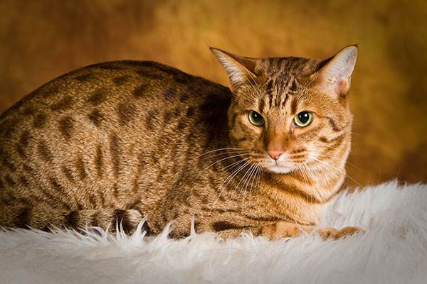 瑞鹏宠物医院带您了解奥西猫
