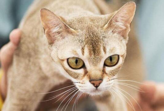 新加坡猫好养吗