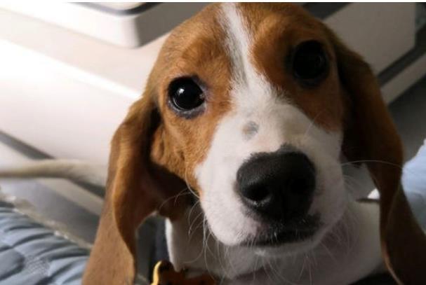 狗腹水的症状是什么
