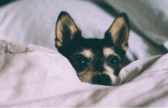 小狗细小的症状