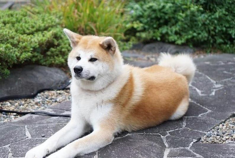 狗有妇科炎症的表现