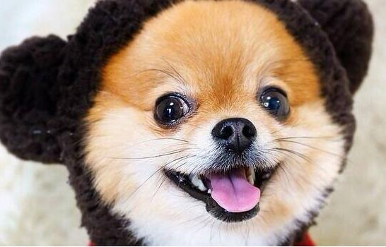 泰迪狗狗有泪痕是怎么回事
