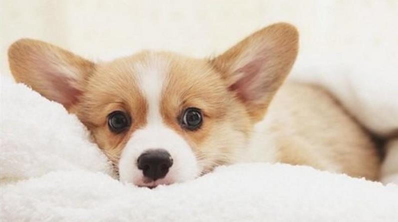 狗狗肚子痛的表现和处理方法,快速缓解狗狗肚子疼