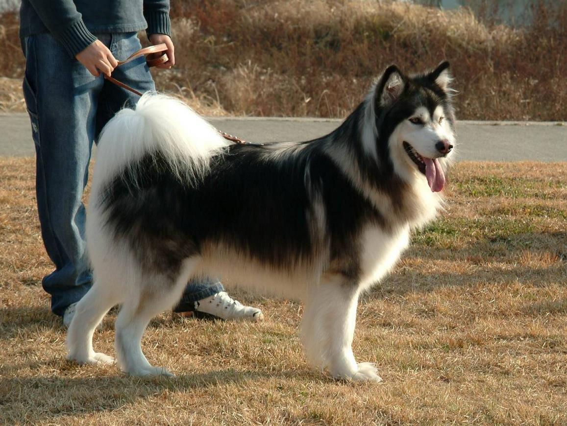 阿拉斯加雪橇犬训练的5个要点