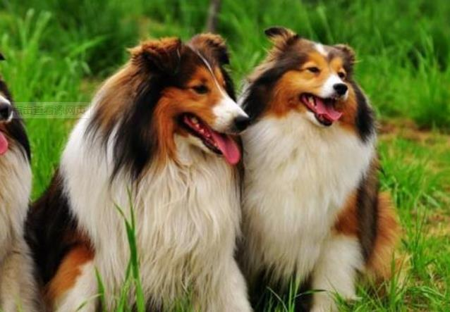 狗狗兴奋的表现