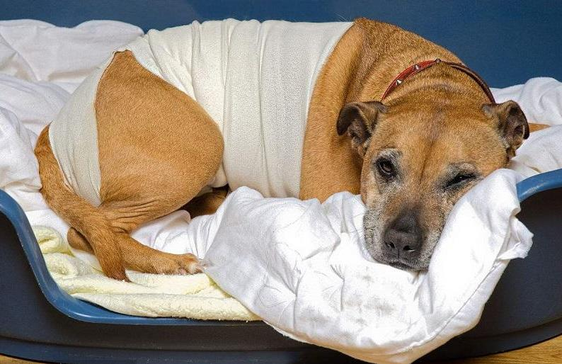 犬瘟热后期治疗方法