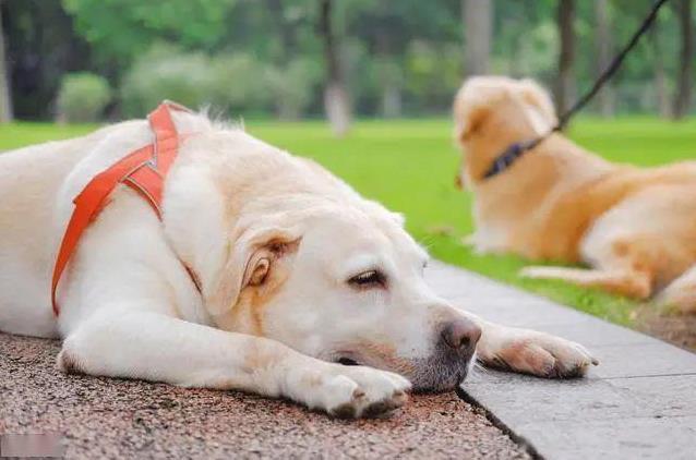 狗狗中暑的症状及急救方法
