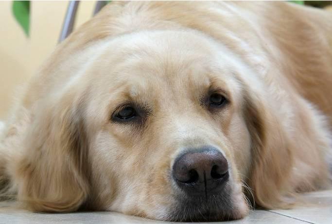 狗狗发烧症状及处理办法