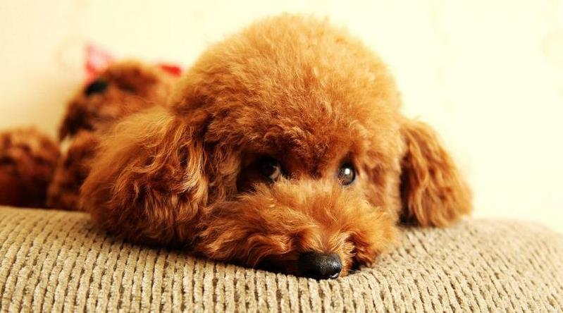 泰迪狗得了胃肠道怎么办