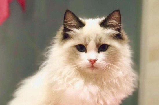 布偶猫掉毛严重吗