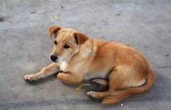 中华田园犬有哪些优点