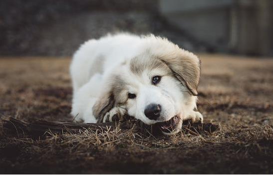狗狗吃果根素副作用
