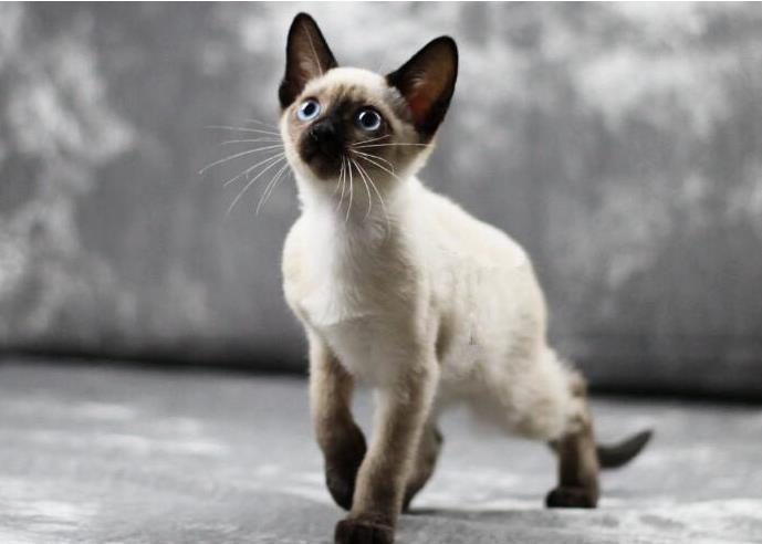 暹罗猫掉毛吗