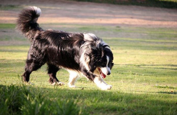 毛很长的狗是什么品种