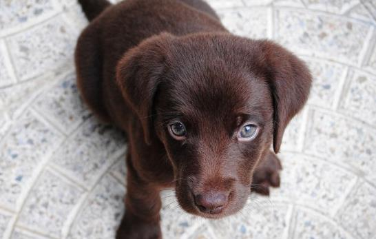 狗的舌头发紫什么原因