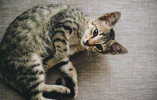 猫鼻支是怎么引起的
