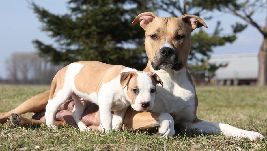 狗怀胎几个月