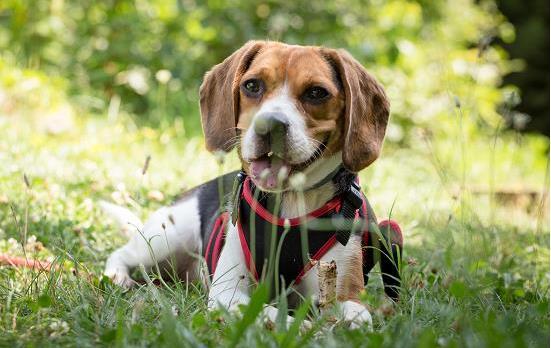 狗狗做绝育后需要注意什么