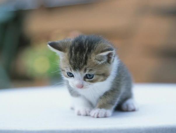 如何判断猫咪的肛门腺出现问题