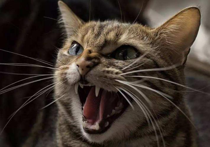 猫咪常见的牙科疾病有哪些