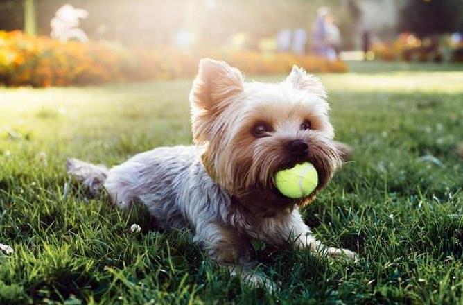 狗发情有什么症状