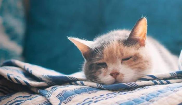 如何辨别猫咪是否染上猫瘟