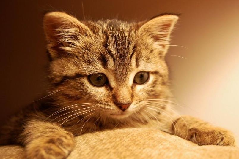 猫传腹有什么症状