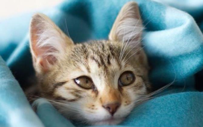 猫咪的绦虫对人有什么危害