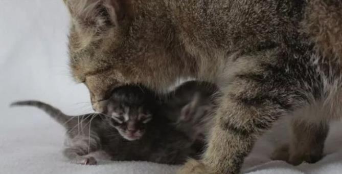 母猫产后的常见疾病
