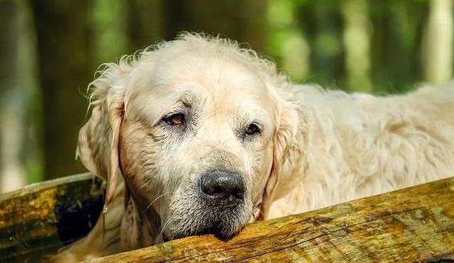 狗狗衰老的特征有哪些