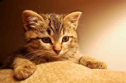 牛磺酸对猫咪的重要性有哪些