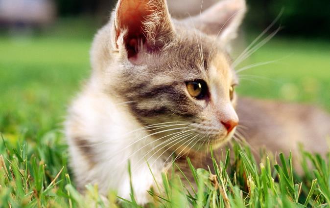 什么是猫瘟