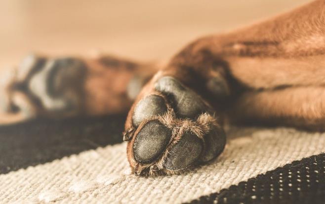 狗狗肉垫干裂是什么原因