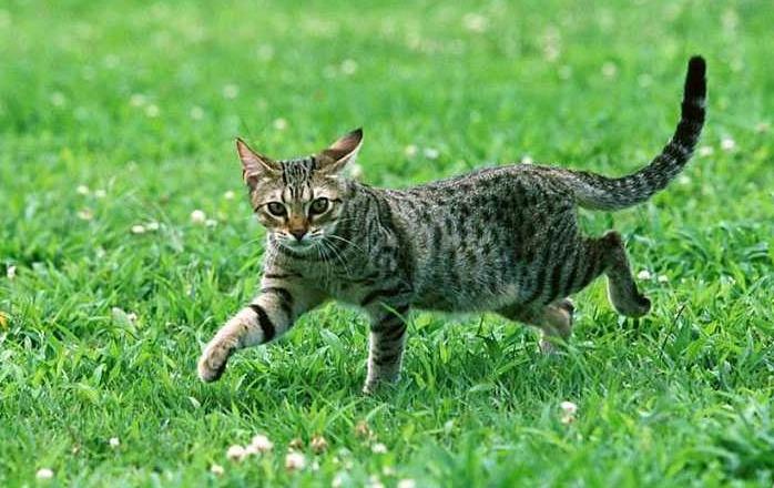 猫咪得了糖尿病主人应该做什么