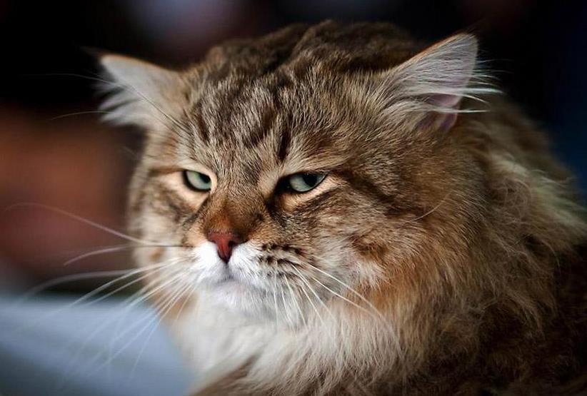 猫咪耳螨如何治疗