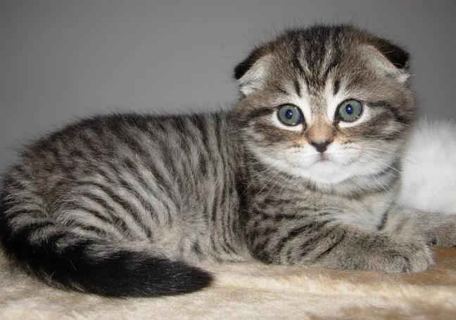 折耳猫是什么猫
