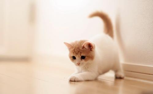 如何判断猫咪尿闭
