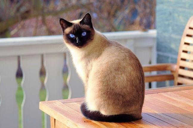 暹罗猫是什么猫