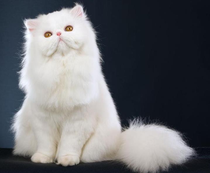 波斯猫是什么猫