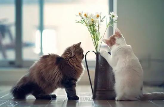 猫咪频繁舔毛、抓挠是什么原因