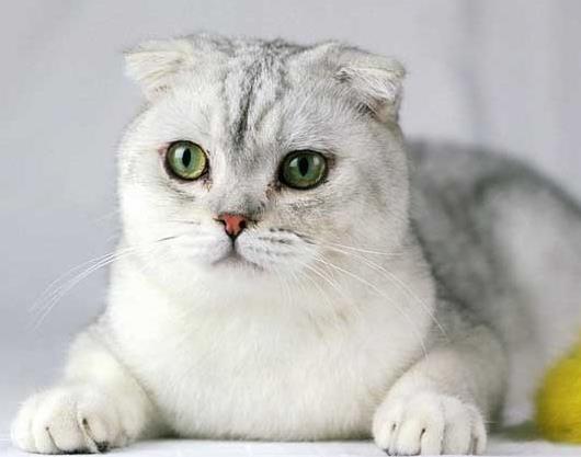 折耳猫可以用来培育繁殖吗