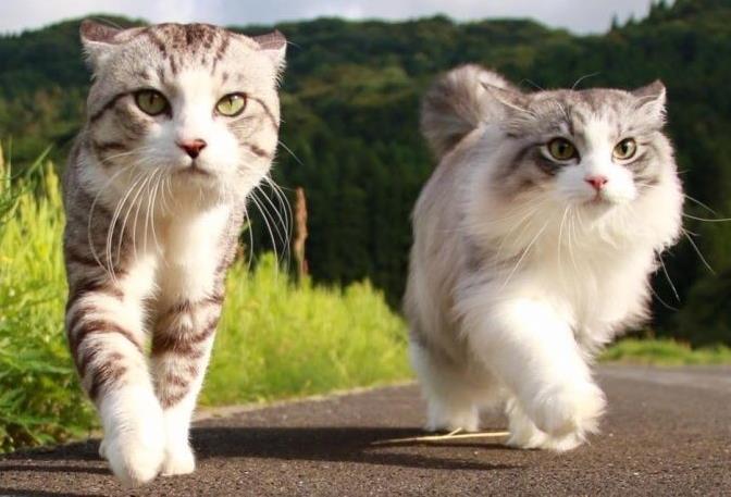 猫咪尿血是怎么回事