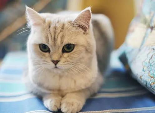 猫咪在猫瘟治愈后该如何护理