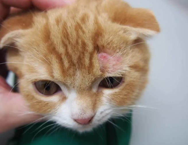 关于治疗猫癣的几大误区