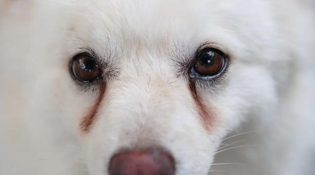 狗狗的泪痕是什么