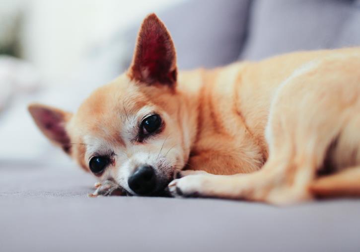 狗狗肾结石发病的原因