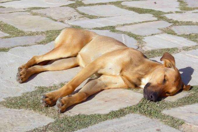 狗狗为什么会中暑