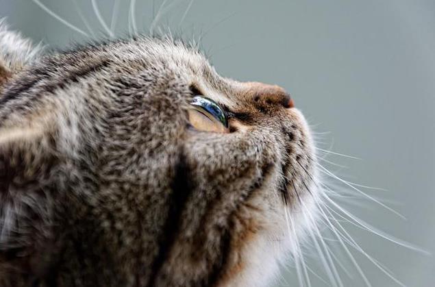 猫咪角膜炎的症状有哪些