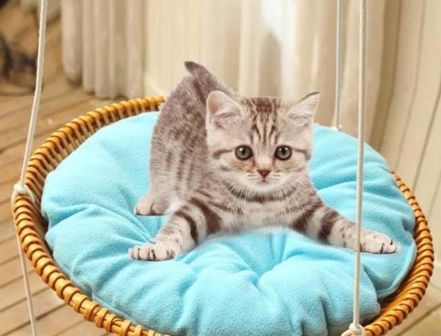 什么是猫咪脂肪肝